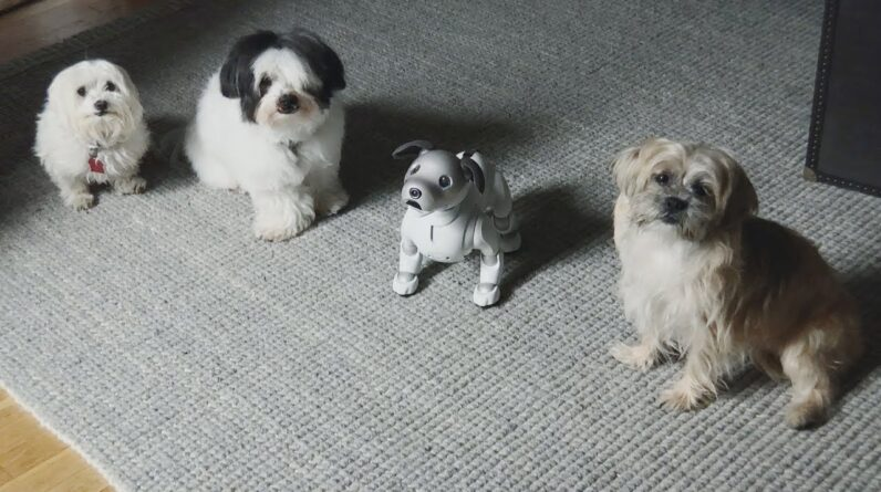 Aibo hangs out with some (real) dogs